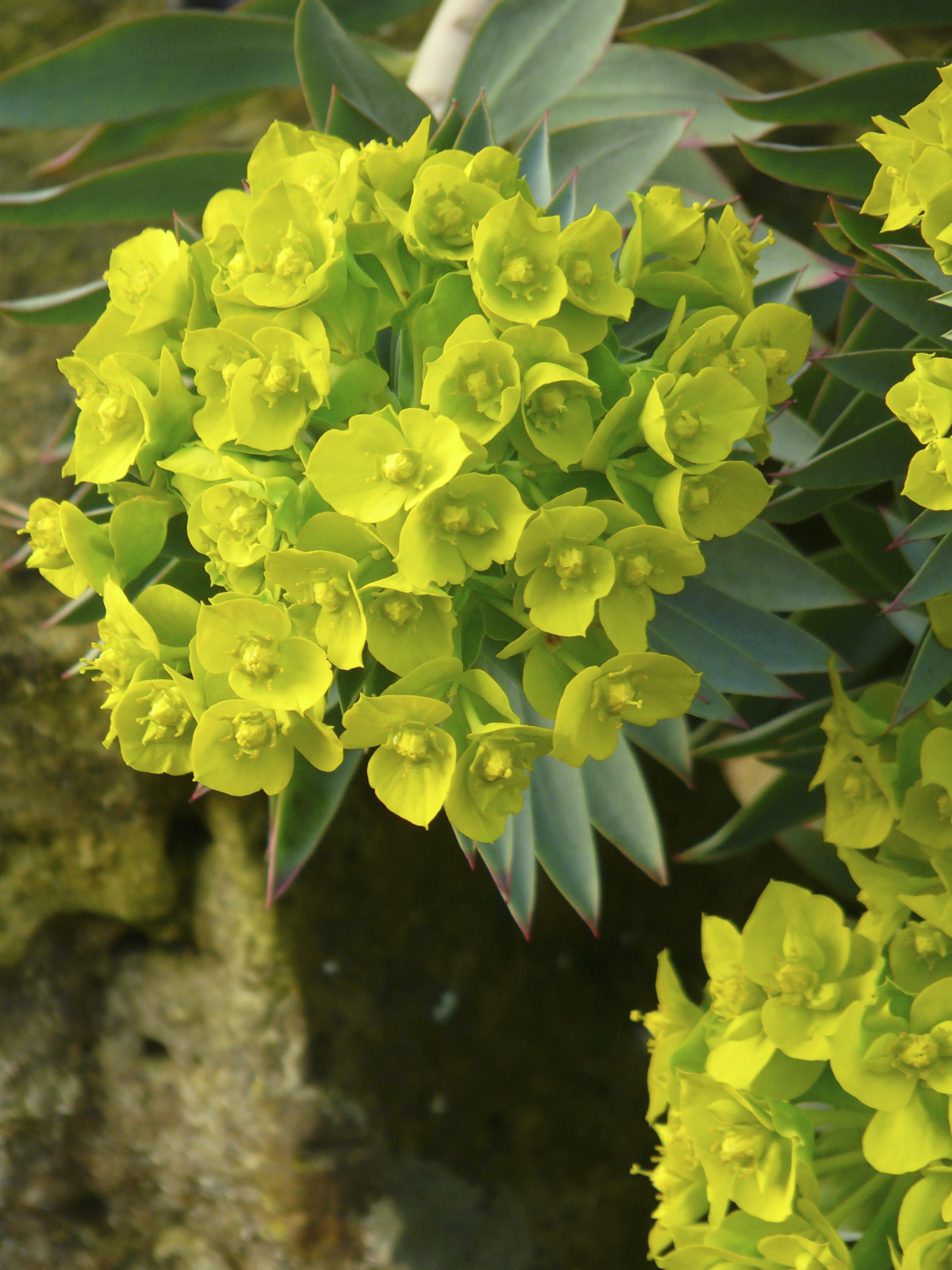 Euphorbia a plant for all seasons the teddington gardener for Green plants for garden