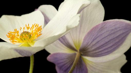 Anemone--Wild-Swan-%3bHardy-s-Cottage-Garden-Plants%3b-5_LW