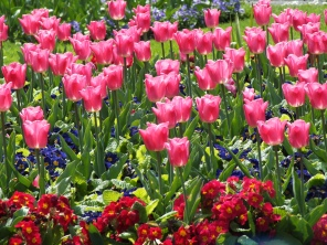 Tulips and primroses used in bedding display in front of Palm House