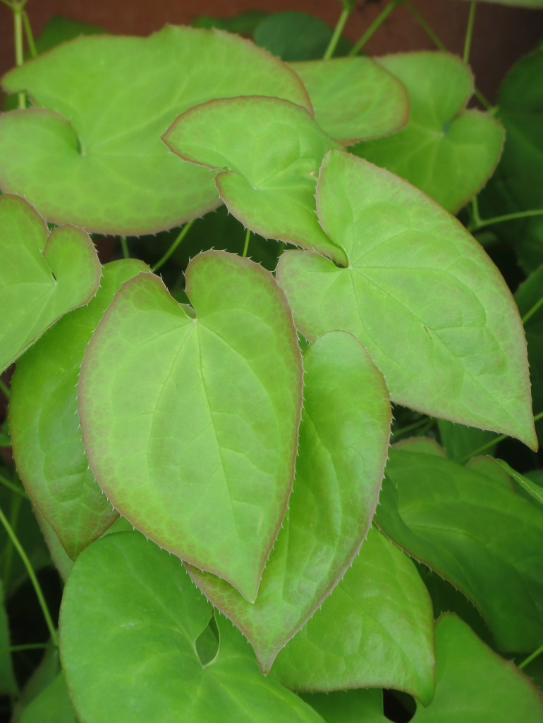 The leaves of Epimedium Orange Queen