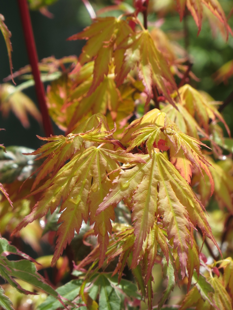 Acer palmatum Orange Queen