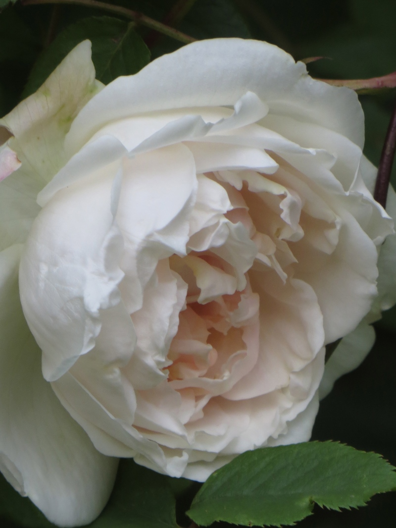 Rose, Madame Alfred Carriere