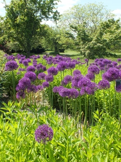 Allium hollandicum Purple Sensation, Piet Oudolf borders at Wisley