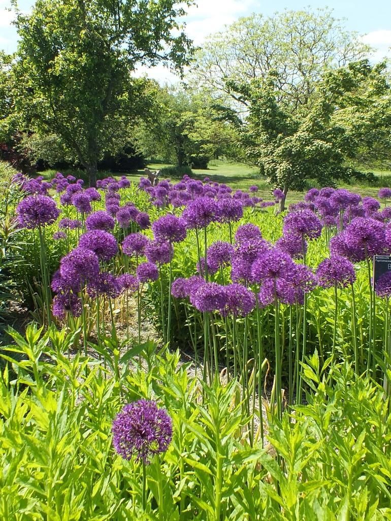 Allium hollandicum Purple Sensation, Piet Oudolf borders at Wisley