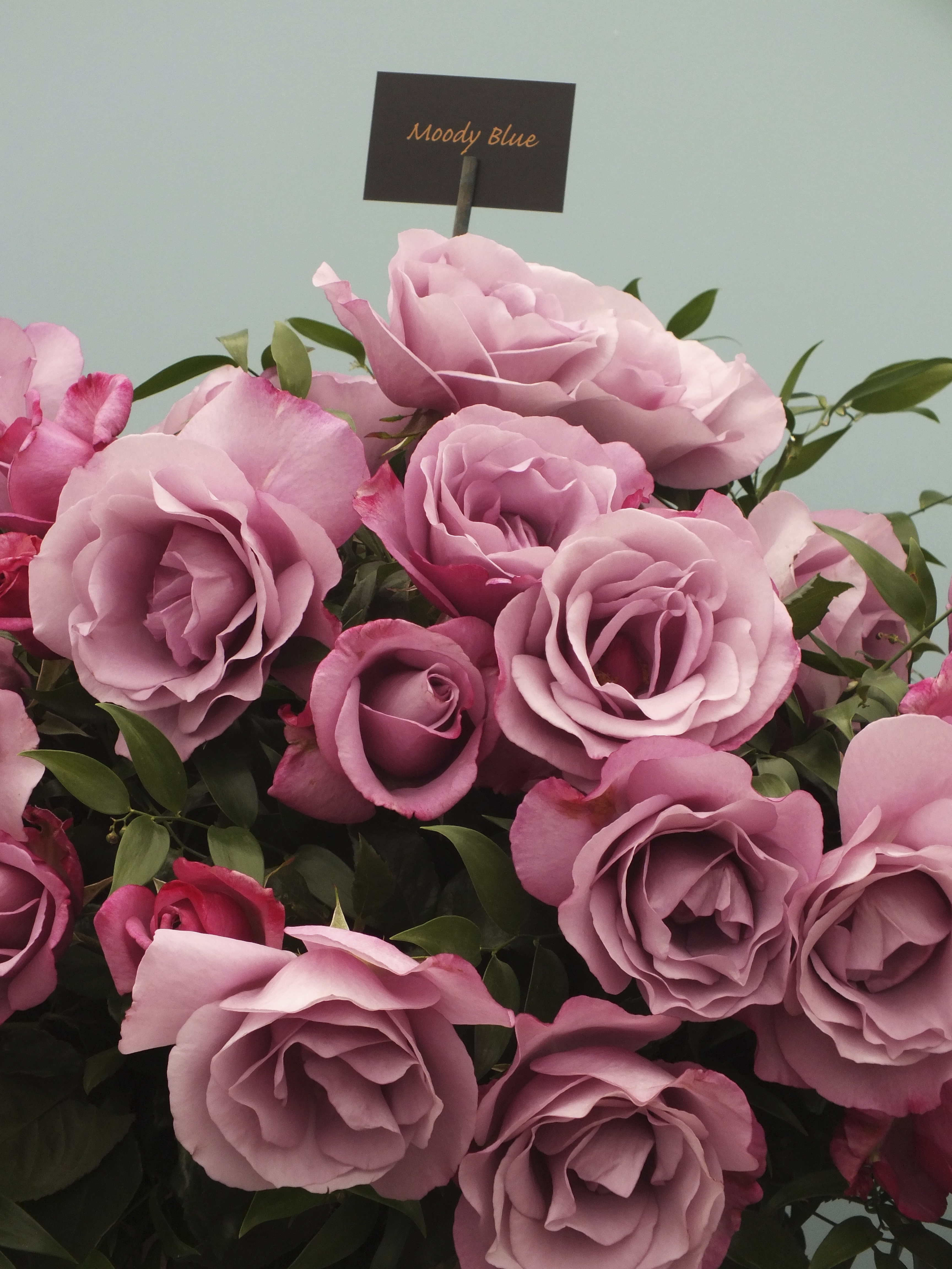 The Rose Marquee at RHS Hampton Court Flower Show | The