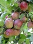 Apple Pitmaston Pineapple