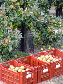 Harvest time at RHS Wisley