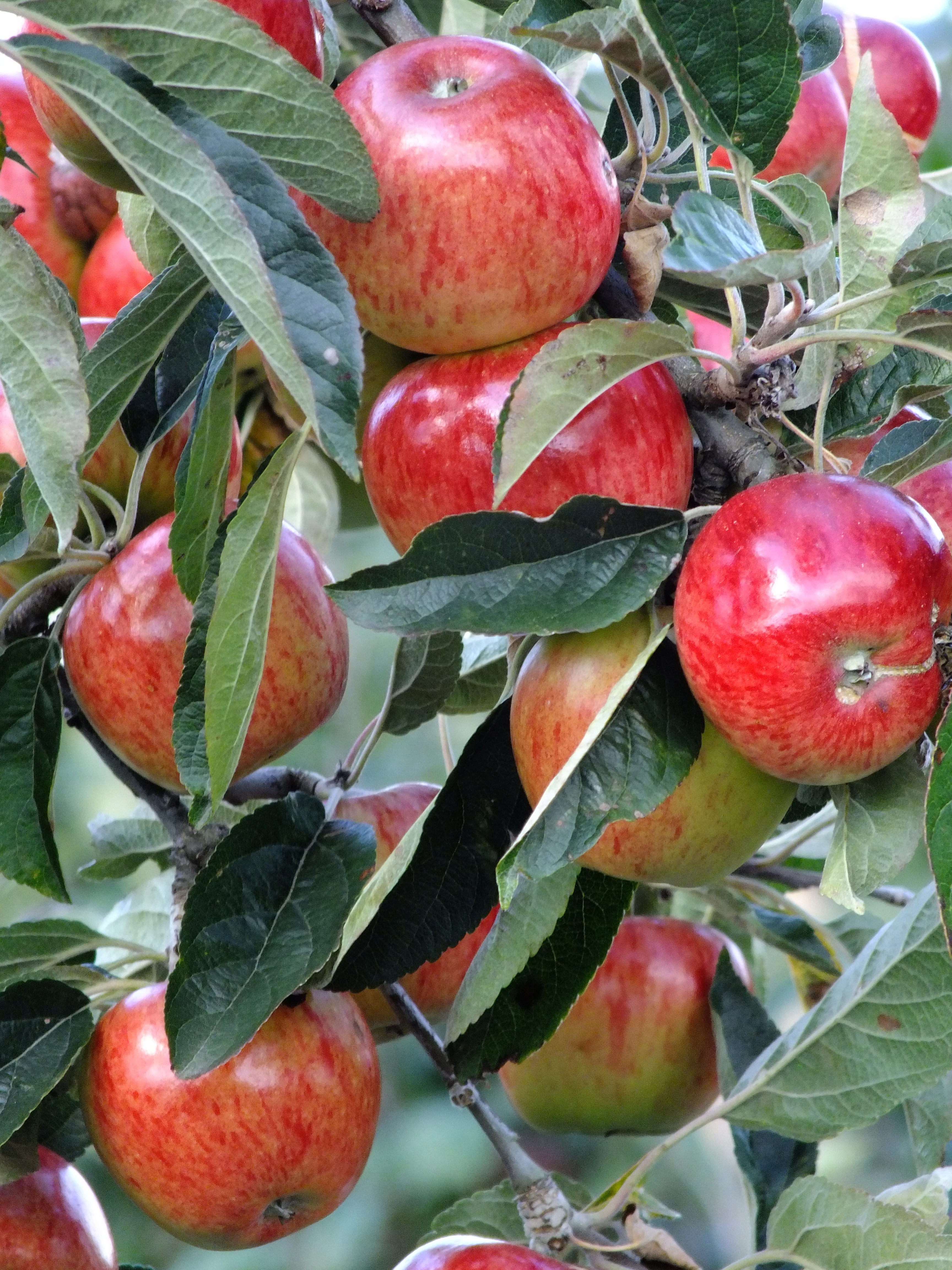 all about apples Qi: quite interesting facts about apples a quietly intriguing column from the  brains behind the bbc's qi this week: qi eats an apple would you.