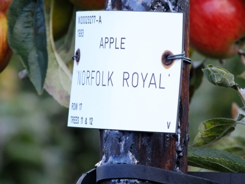 Norfolk Royal, above