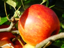 Apple Barnack Orange