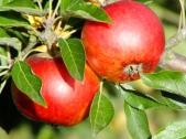 Apple Barnack Orange