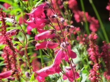 Penstemon Garnet & Persicaria amplexicaulis