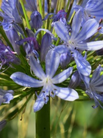 Unnamed Agapanthus