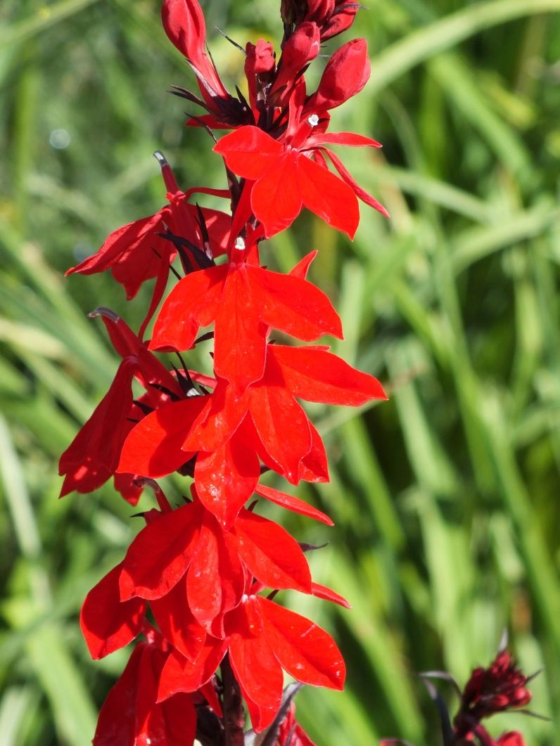 Lobelia cardinalis Bee's Flame