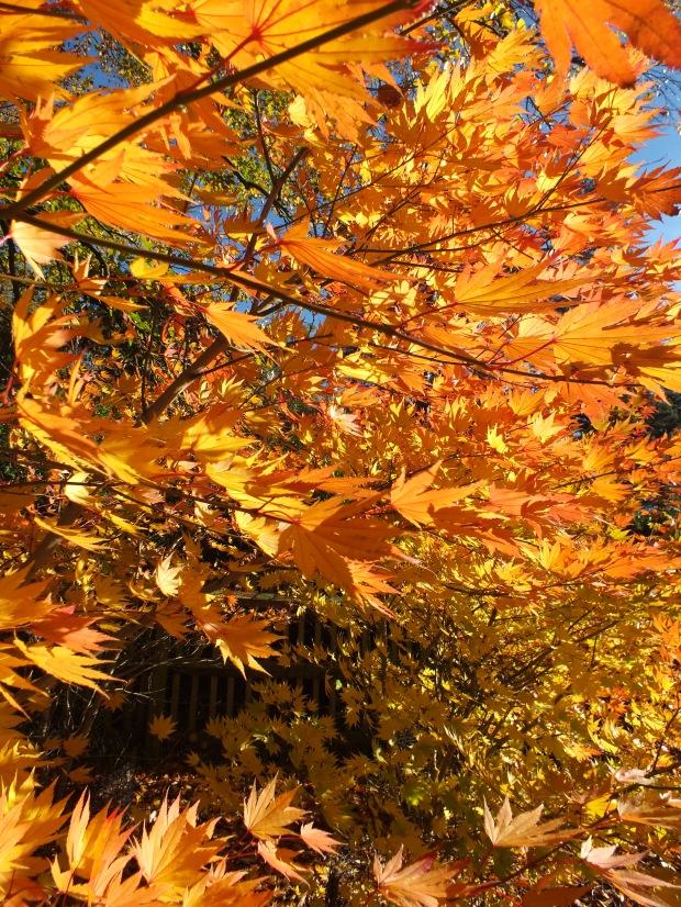 Acer Shirasawanum Jordan