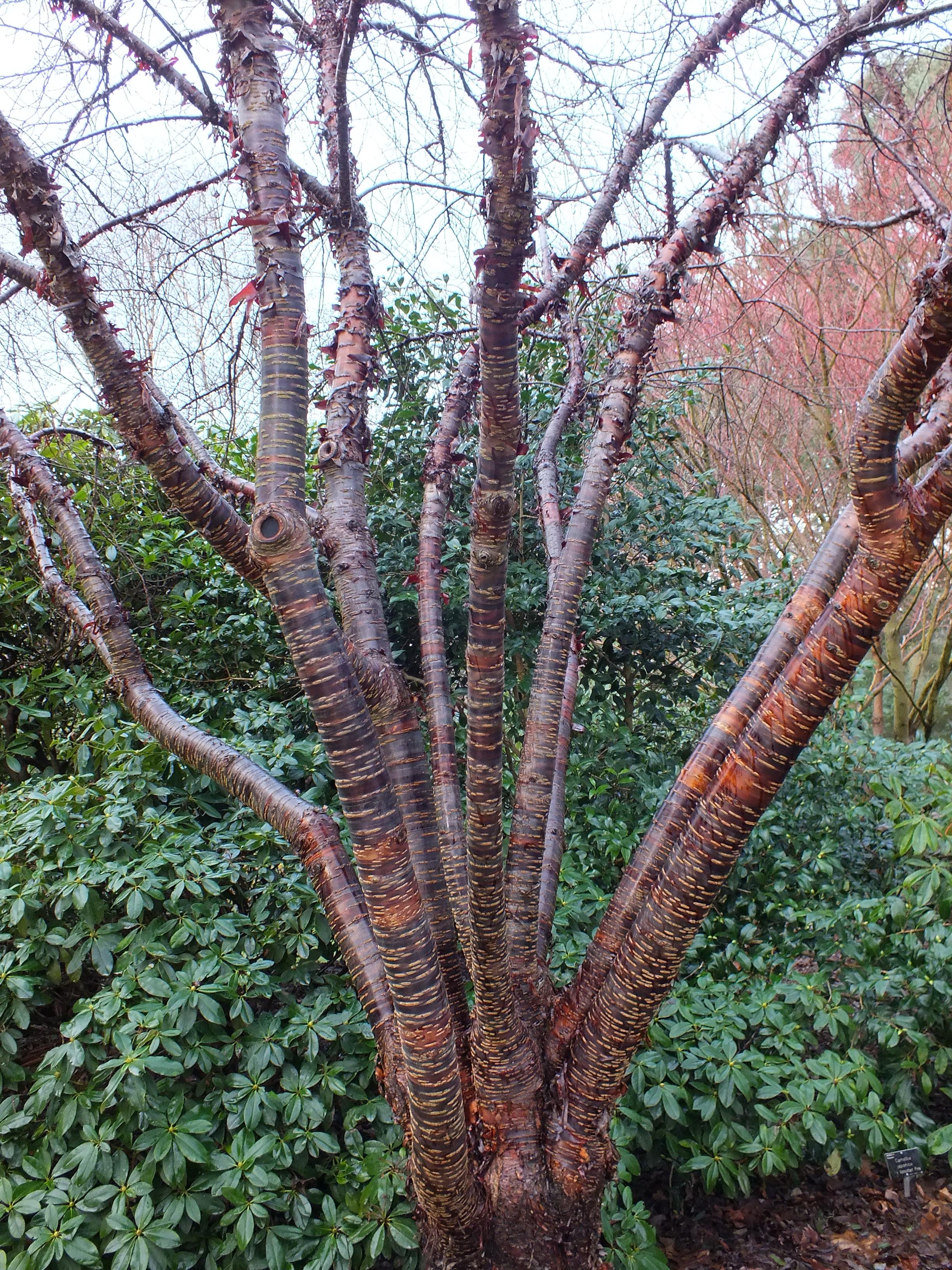 Prunus Himalaica The Teddington Gardener