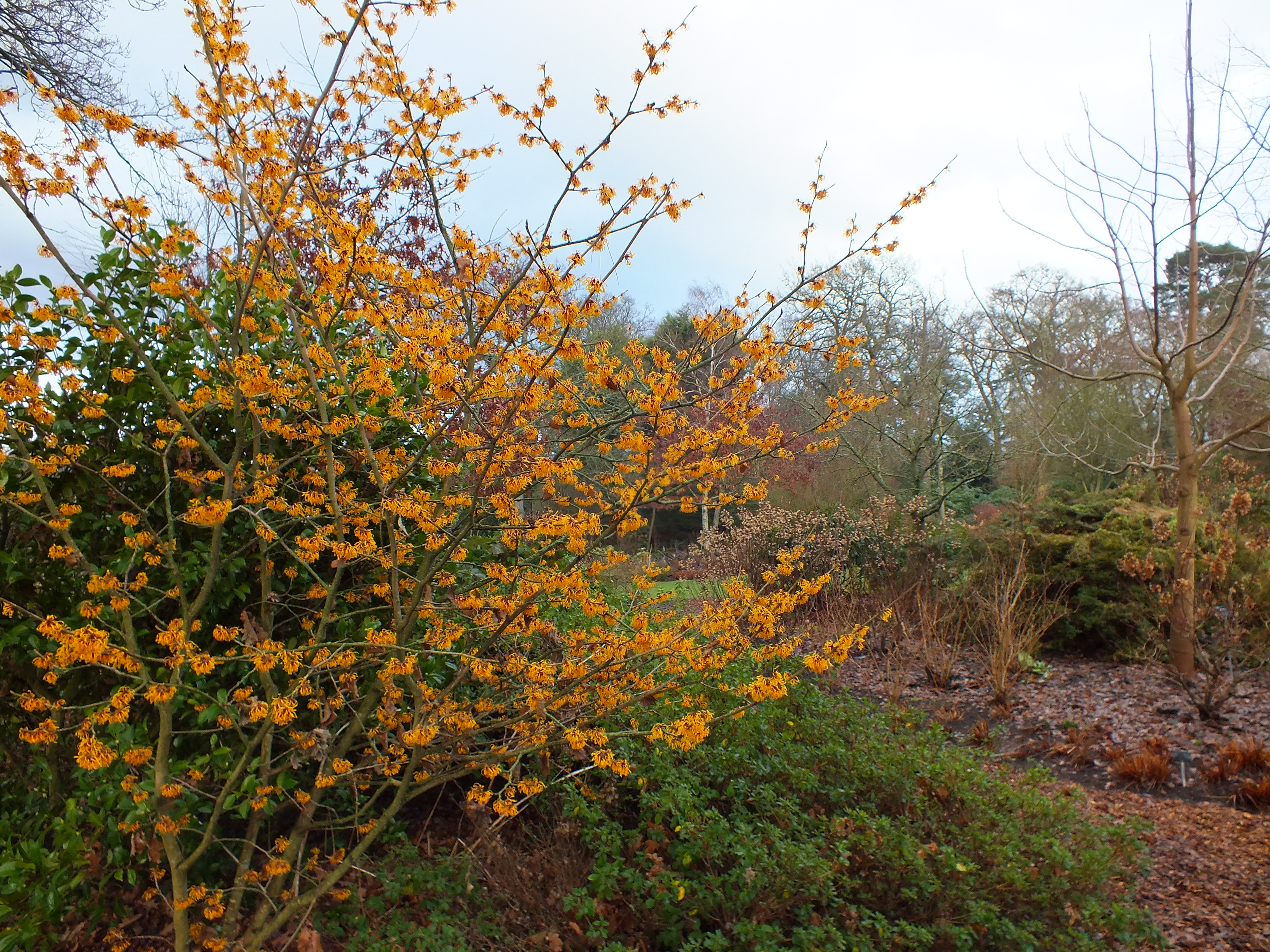 all about witch hazel hamamelis of every hue at rhs wisley the teddington gardener. Black Bedroom Furniture Sets. Home Design Ideas