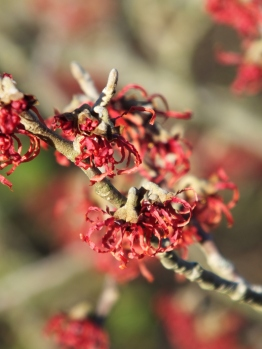Hamamelis x intermedia Carmine Red