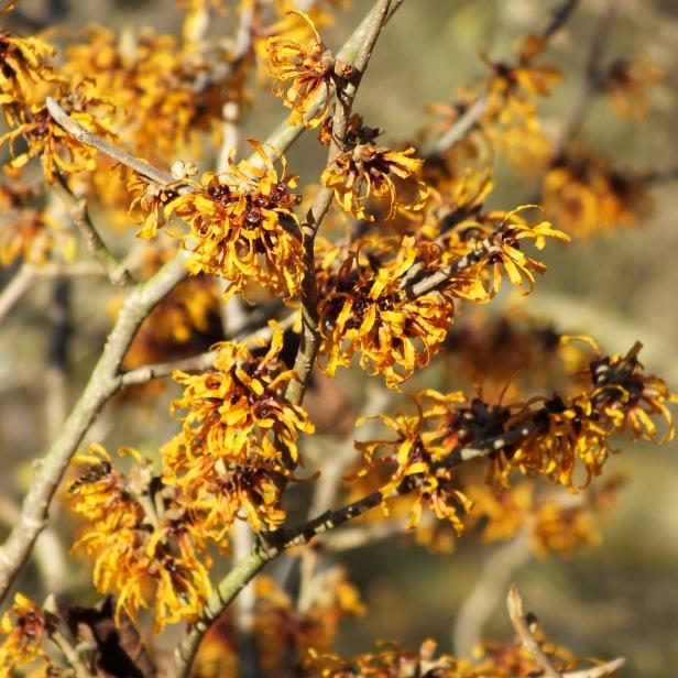 Hamamelis x intermedia Orange Peel