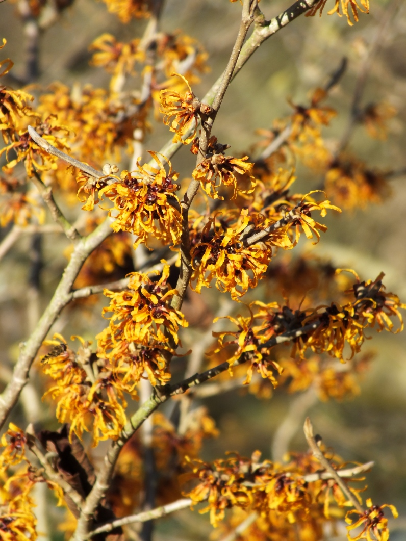 Hamamelis x intermedia Orange Peel