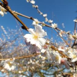 Prunus subhirtella Autumnalis