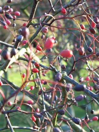 Sorbus alnifolia