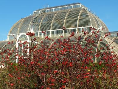Rosa x hibernica and the Palm House