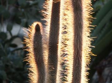 Cleistocactis candelilla