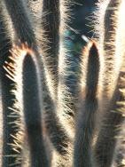 Cleistocactus candelilla