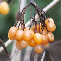 Viburnum opulus Xanthocarpum