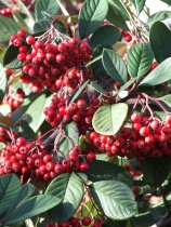 Cotoneaster waterii?