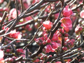 Chaenomeles - flowering quince