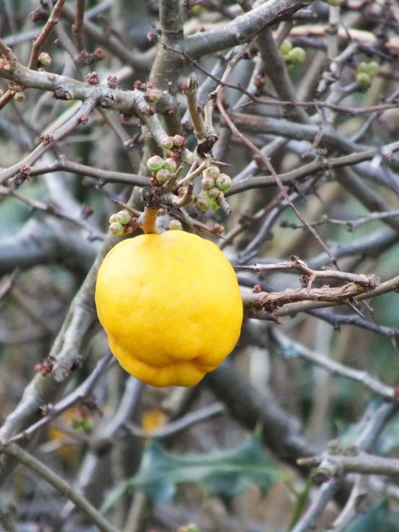 Quince - Chaenomeles