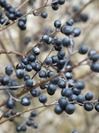Berries of Nandina