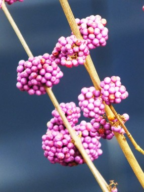 Callicarpa - beauty berry