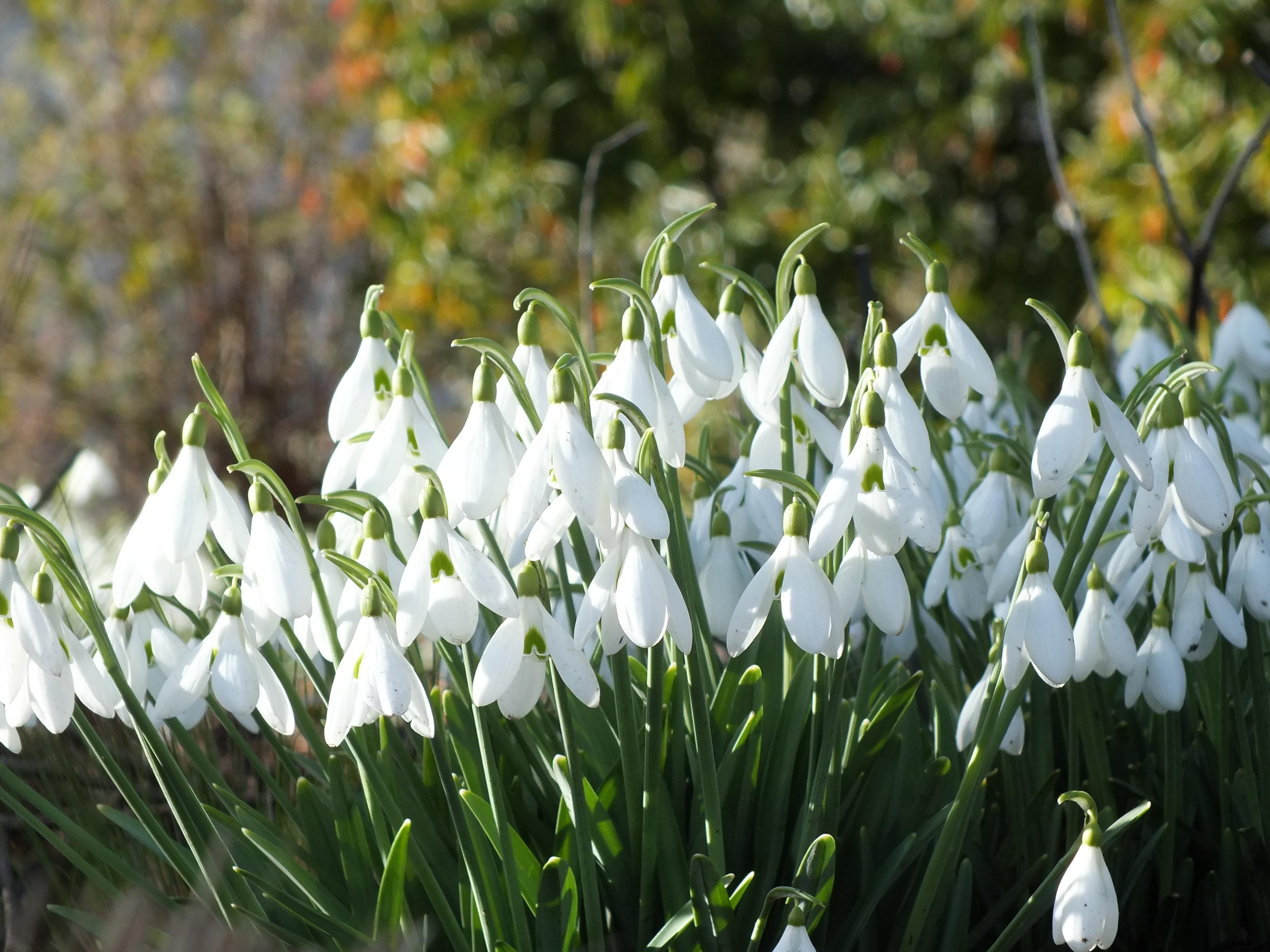 Snowdrops Hellebores Crocus Winter Aconites The