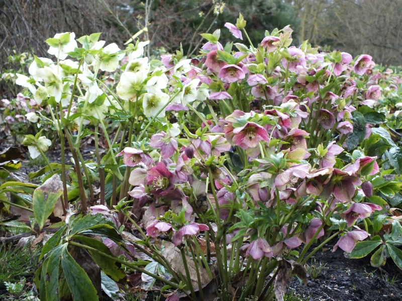 Hellebore orientalis hybrids