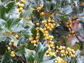 Ilex aquifolium Bacciflava