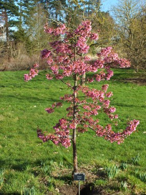 Prunus Kursar