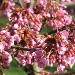 Prunus Kurzar