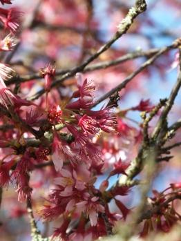 Prunus Okame