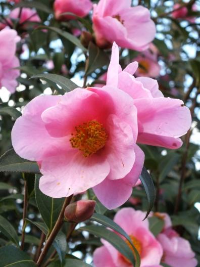 Camellia pitardii yunnansis
