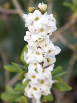 Daphne mezereum f alba Bowles's variety