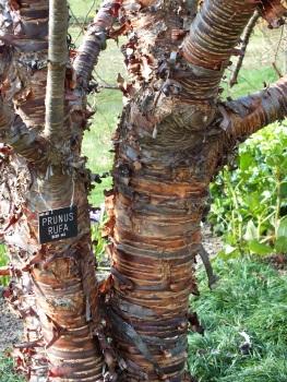 Prunus rufa