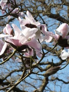 Magnolia sprengeri Diva