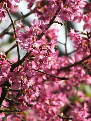 Prunus Collingwood Ingram