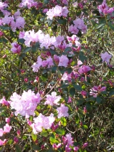 Rhododendron Emasculum