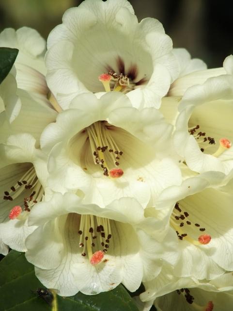Rhododendron macabeanum