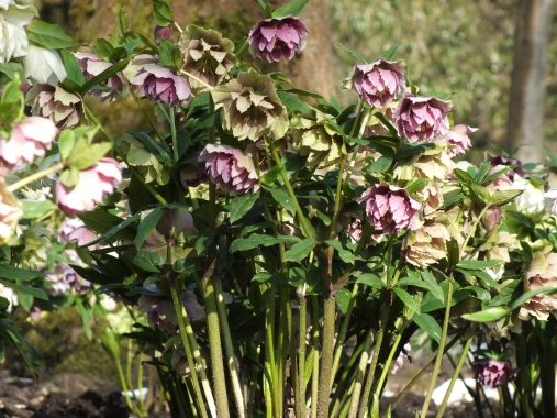 Helleborus x hybridus Double Queen Mixed