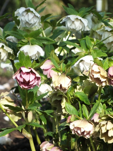 Hellebore Double Queen Mixed